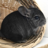 Chinchilla name generator